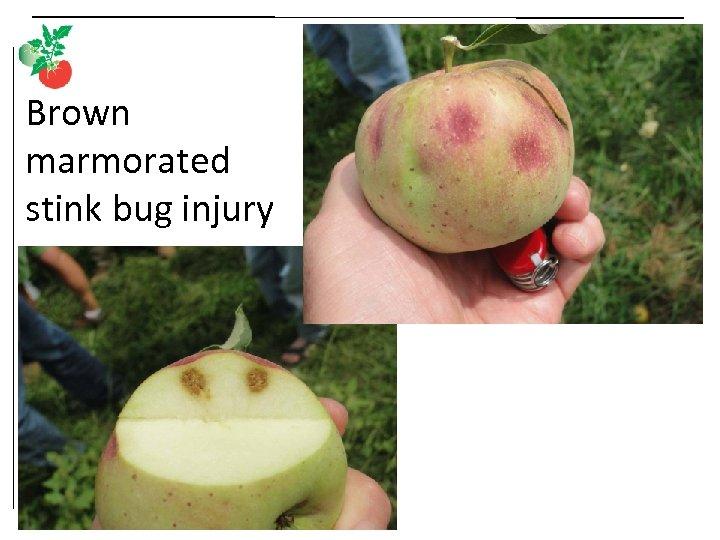 Brown marmorated stink bug injury