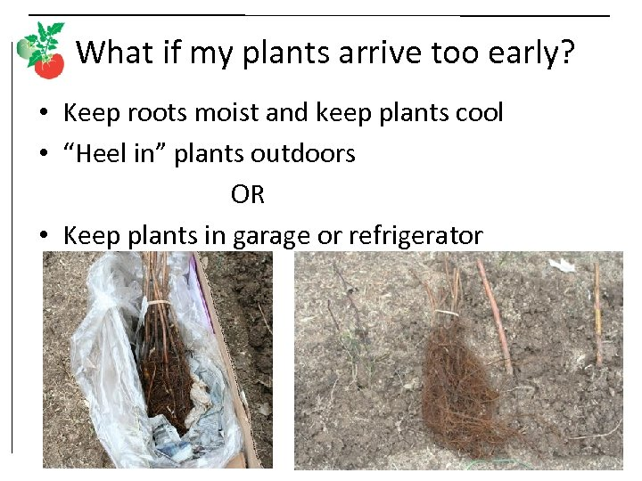What if my plants arrive too early? • Keep roots moist and keep plants