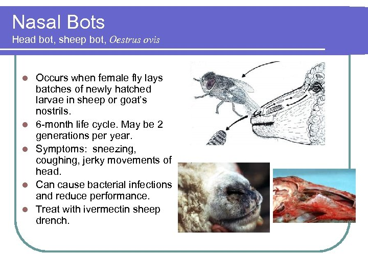 Nasal Bots Head bot, sheep bot, Oestrus ovis l l l Occurs when female