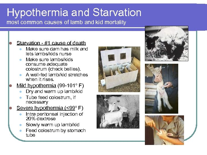Hypothermia and Starvation most common causes of lamb and kid mortality l Starvation -