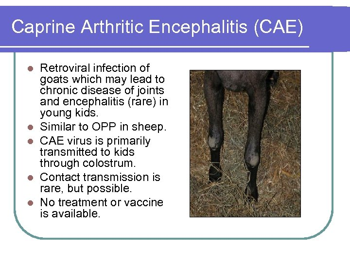 Caprine Arthritic Encephalitis (CAE) l l l Retroviral infection of goats which may lead