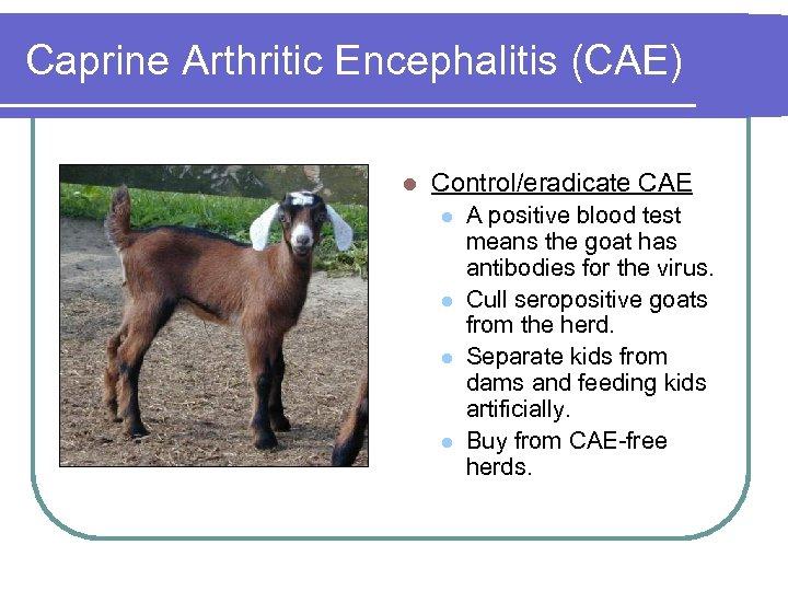 Caprine Arthritic Encephalitis (CAE) l Control/eradicate CAE l l A positive blood test means