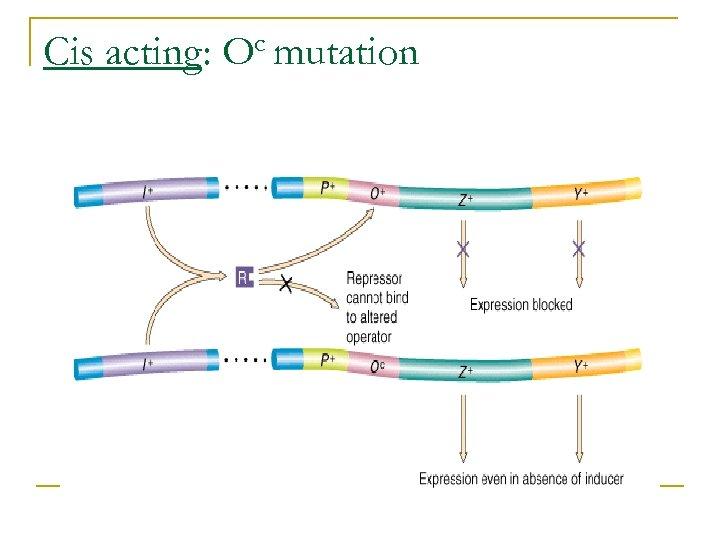 Cis acting: c mutation O