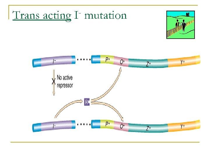 Trans acting I mutation