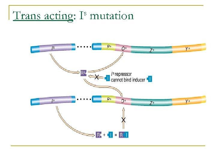 Trans acting: s I mutation