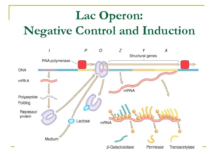 Lac Operon: Negative Control and Induction