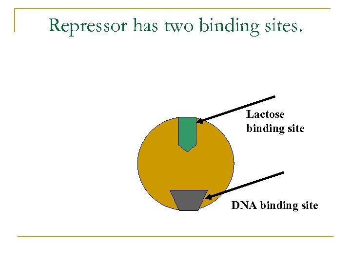 Repressor has two binding sites. Lactose binding site DNA binding site
