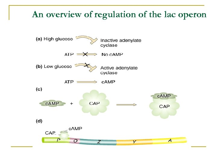 An overview of regulation of the lac operon