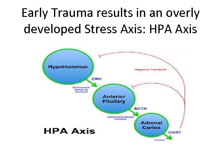 Early Trauma results in an overly developed Stress Axis: HPA Axis