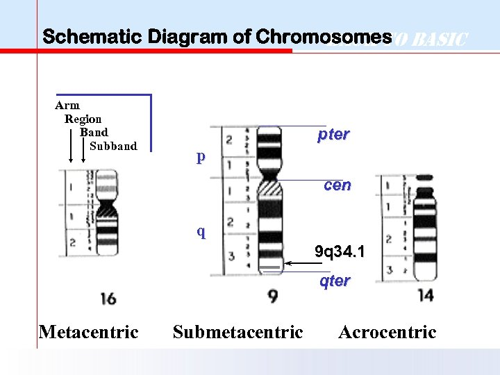 Schematic Diagram of Chromosomes Basic Back to Arm Region Band Subband pter p cen