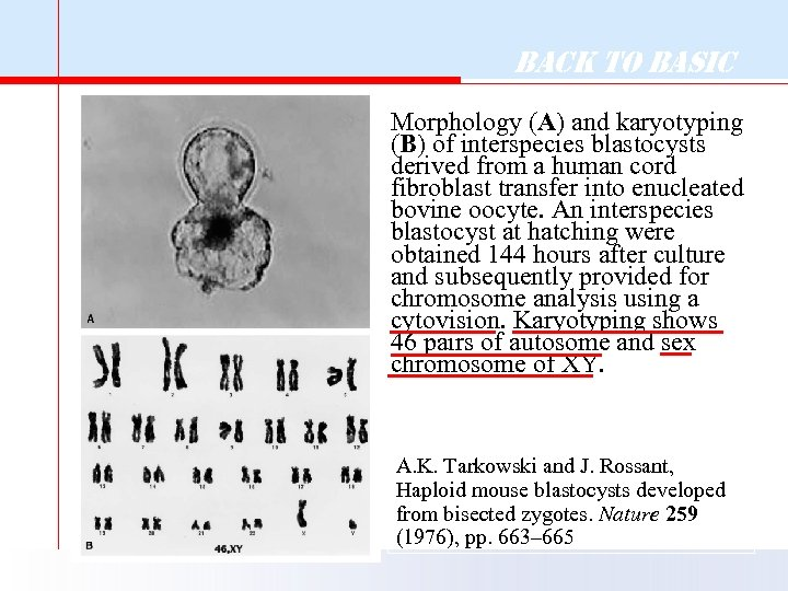 Back to Basic Morphology (A) and karyotyping (B) of interspecies blastocysts derived from a