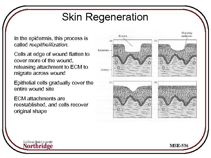 Skin Regeneration In the epidermis, this process is called reepithelilization. Cells at edge of