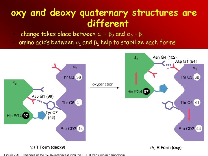 oxy and deoxy quaternary structures are different – change takes place between 1 -
