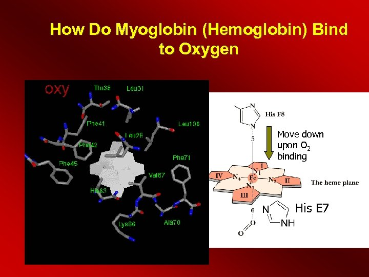 How Do Myoglobin (Hemoglobin) Bind to Oxygen Move down upon O 2 binding His