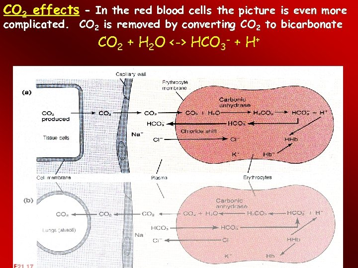 CO 2 effects - In the red blood cells the picture is even more