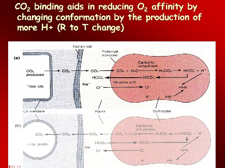 CO 2 binding aids in reducing O 2 affinity by changing conformation by the