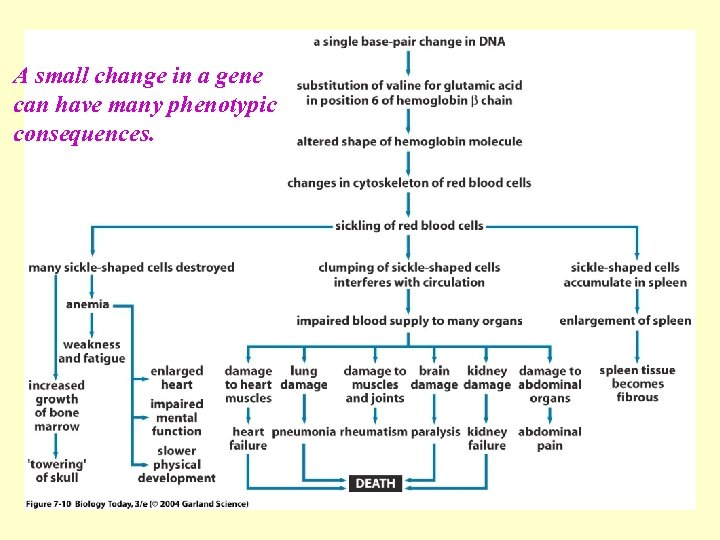 A small change in a gene can have many phenotypic Figure 7. 10 consequences.