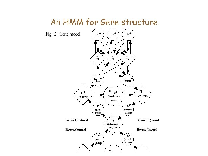 An HMM for Gene structure