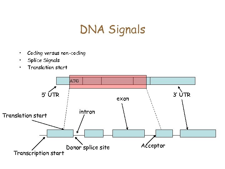 DNA Signals • • • Coding versus non-coding Splice Signals Translation start ATG 5'
