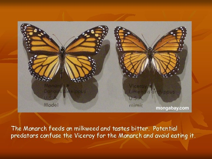The Monarch feeds on milkweed and tastes bitter. Potential predators confuse the Viceroy for