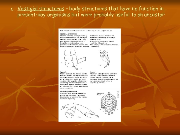 c. Vestigial structures – body structures that have no function in present-day organisms but
