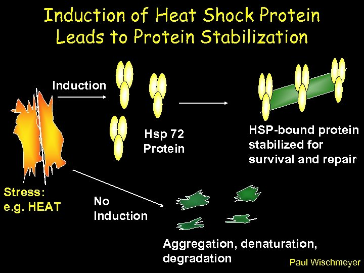 Induction of Heat Shock Protein Leads to Protein Stabilization Induction Hsp 72 Protein Stress: