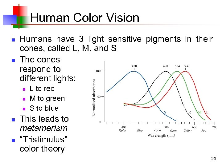 Human Color Vision n n Humans have 3 light sensitive pigments in their cones,