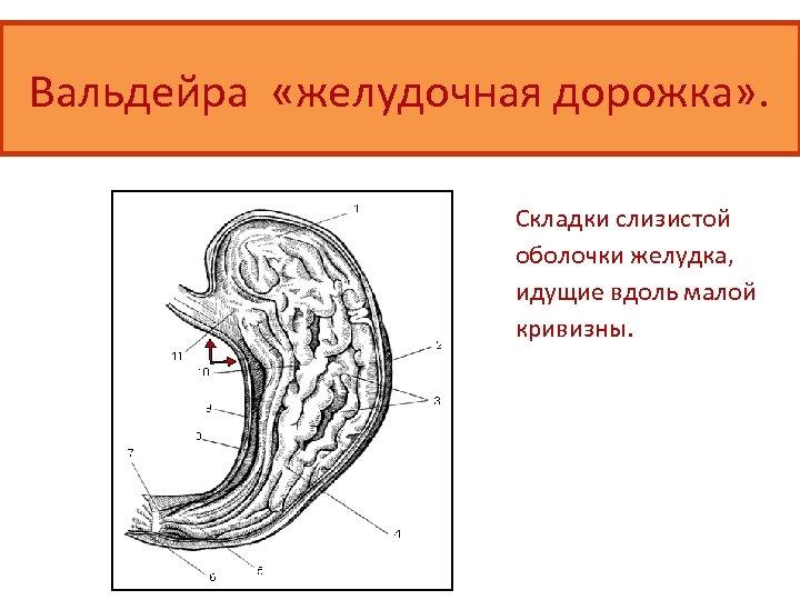 Вальдейра «желудочная дорожка» . Складки слизистой оболочки желудка, идущие вдоль малой кривизны.