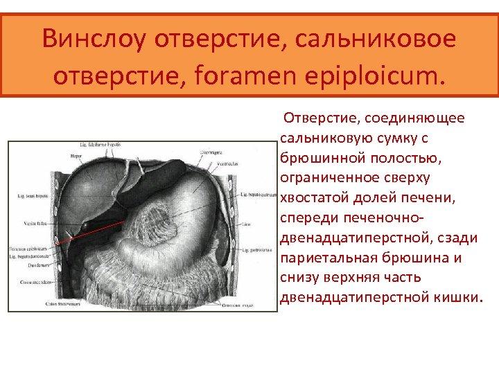 Винслоу отверстие, сальниковое отверстие, foramen epiploicum. Отверстие, соединяющее сальниковую сумку с брюшинной полостью, ограниченное