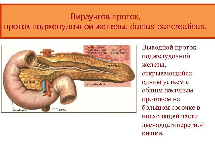 Вирзунгов проток, проток поджелудочной железы, ductus pancreaticus. Выводной проток поджелудочной железы, открывающийся одним устьем