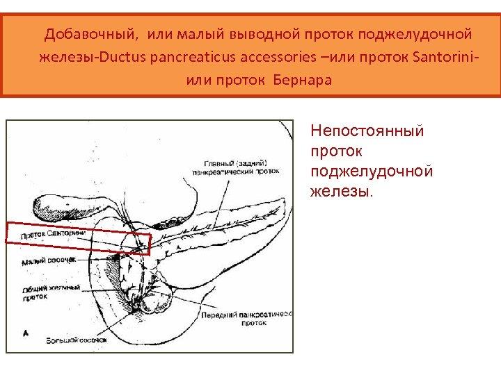 Добавочный, или малый выводной проток поджелудочной железы-Ductus pancreaticus accessories –или проток Santoriniили проток Бернара