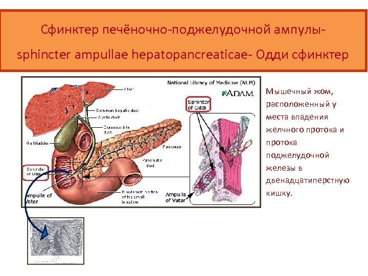 Сфинктер печёночно-поджелудочной ампулыsphincter ampullae hepatopancreaticae- Одди сфинктер Мышечный жом, расположенный у места впадения желчного