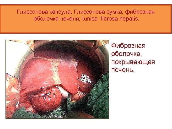 Глиссонова капсула, Глиссонова сумка, фиброзная оболочка печени, tunica fibrosa hepatis. Фиброзная оболочка, покрывающая печень.