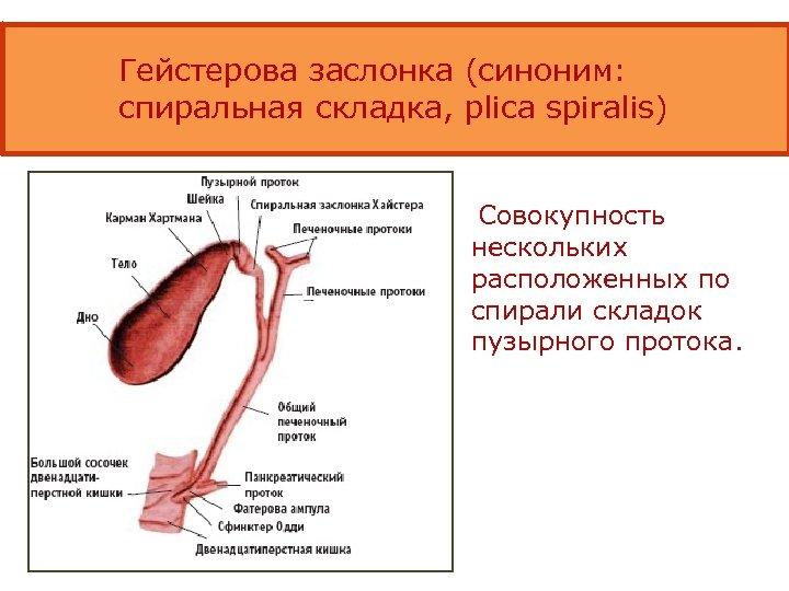 Гейстерова заслонка (синоним: спиральная складка, plica spiralis) Совокупность нескольких расположенных по спирали складок пузырного