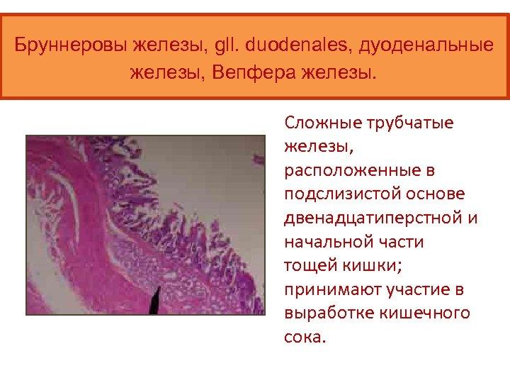Бруннеровы железы, gll. duodenales, дуоденальные железы, Вепфера железы. Сложные трубчатые железы, расположенные в подслизистой