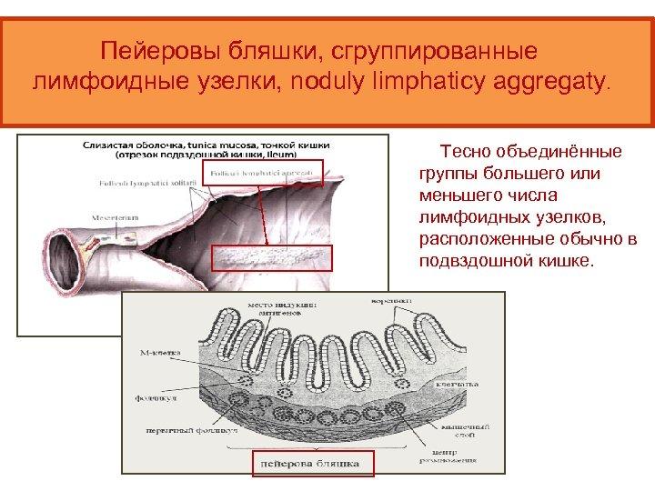 Пейеровы бляшки, сгруппированные лимфоидные узелки, noduly limphaticy aggregaty. Тесно объединённые группы большего или меньшего