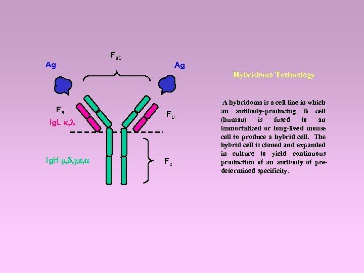 Fab Ag Ag Hybridoma Technology Fa Ig. L k, l Ig. H m, d,