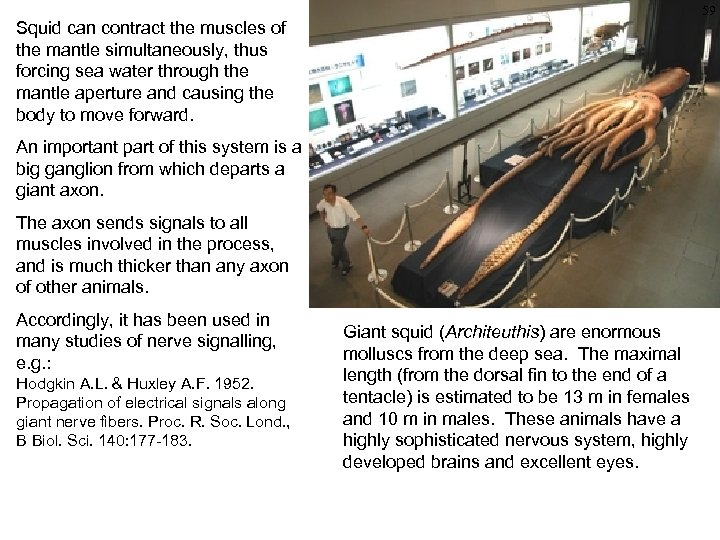 59 Squid can contract the muscles of the mantle simultaneously, thus forcing sea water