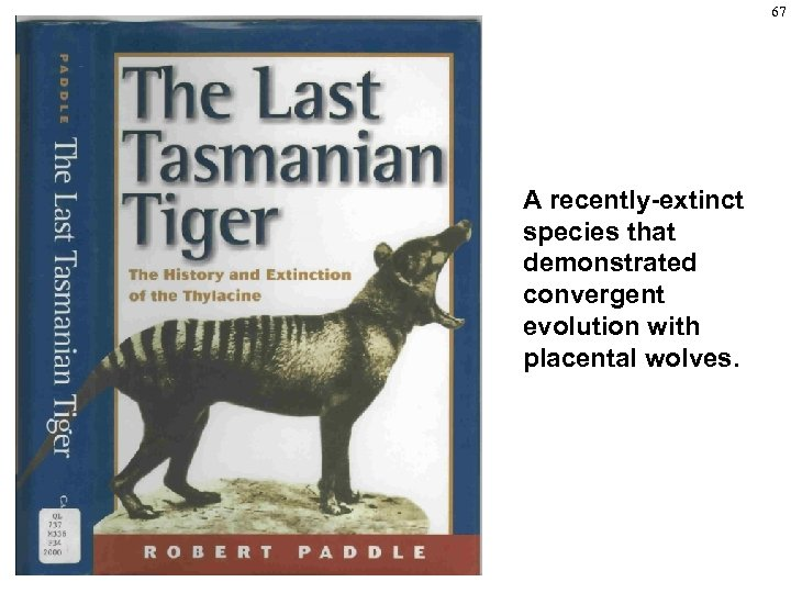 67 A recently-extinct species that demonstrated convergent evolution with placental wolves.