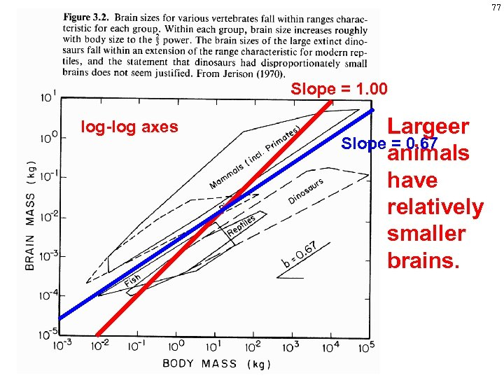 77 Slope = 1. 00 log-log axes Largeer Slope = 0. 67 animals have