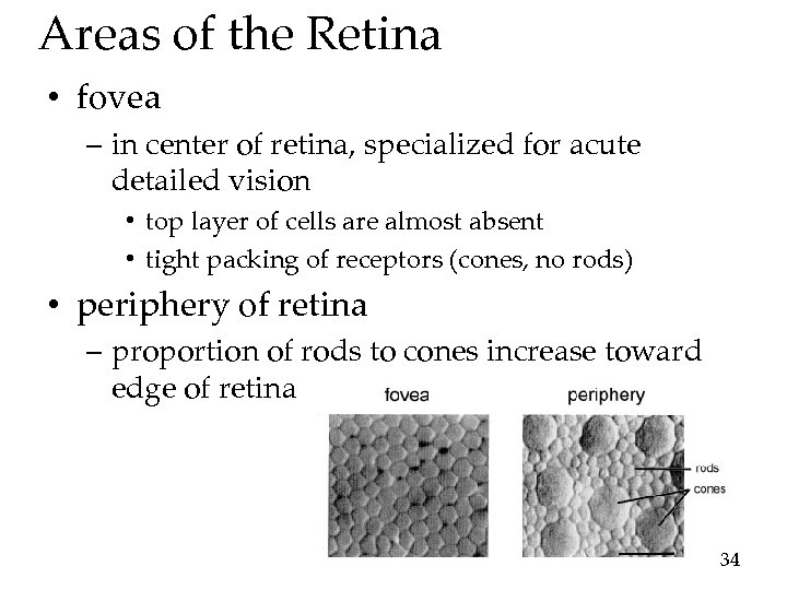 Areas of the Retina • fovea – in center of retina, specialized for acute
