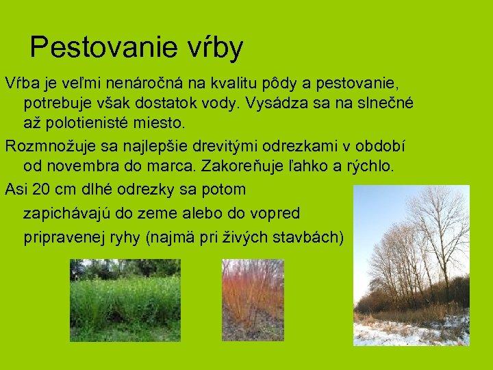 Pestovanie vŕby Vŕba je veľmi nenáročná na kvalitu pôdy a pestovanie, potrebuje však dostatok