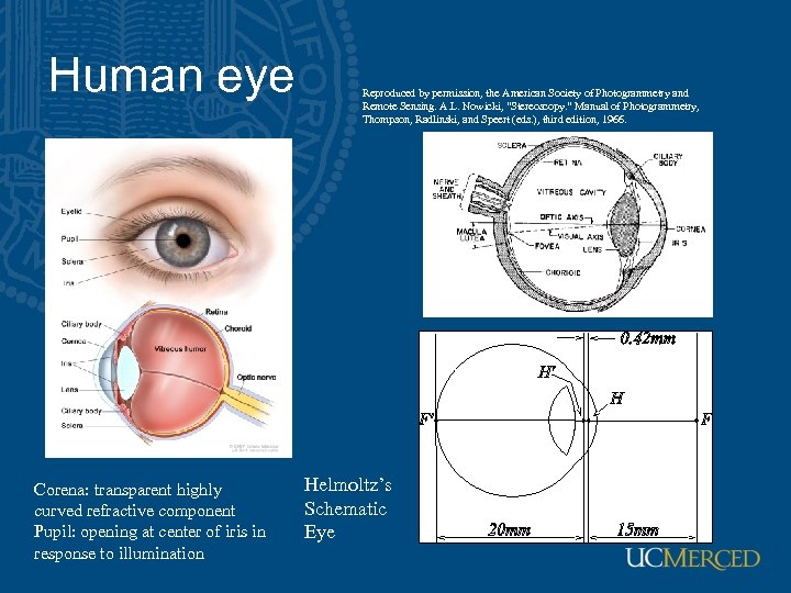 Human eye Corena: transparent highly curved refractive component Pupil: opening at center of iris