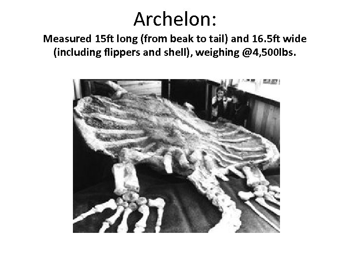 Archelon: Measured 15 ft long (from beak to tail) and 16. 5 ft wide