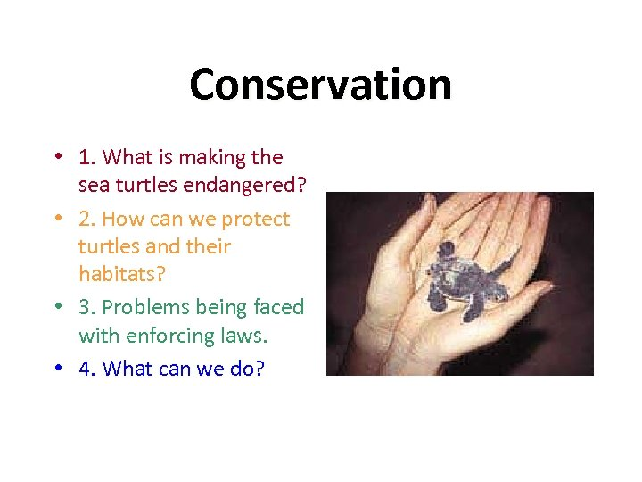 Conservation • 1. What is making the sea turtles endangered? • 2. How can