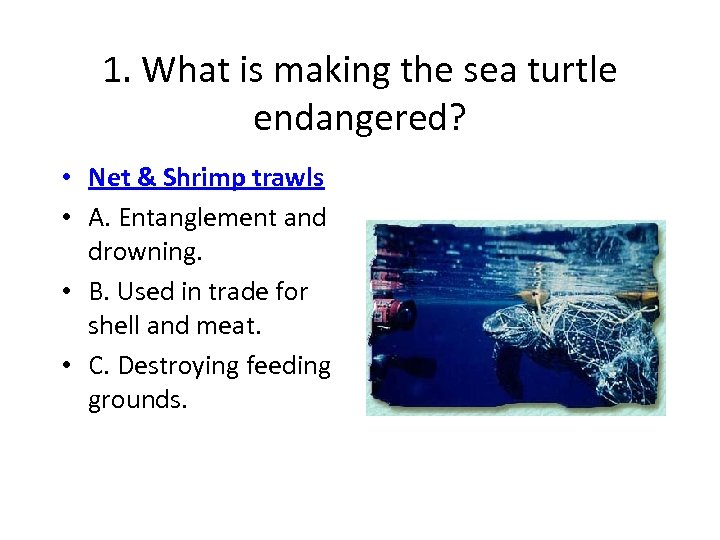 1. What is making the sea turtle endangered? • Net & Shrimp trawls •