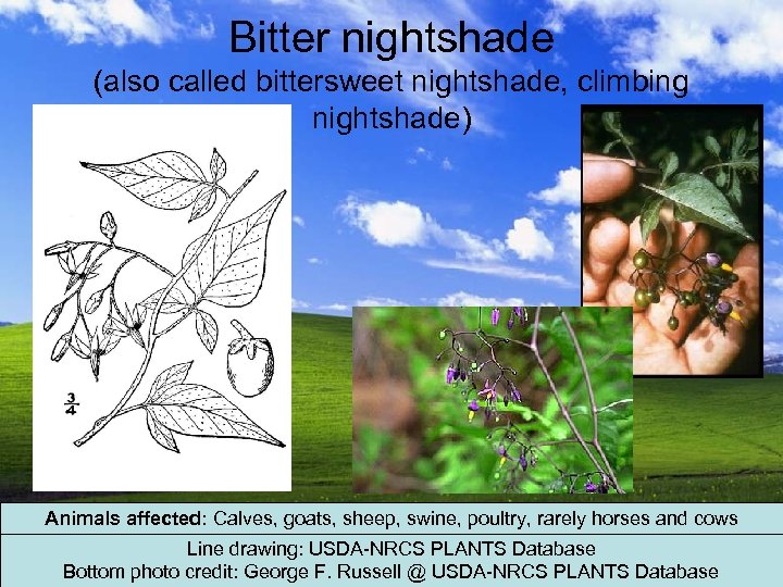 Bitter nightshade (also called bittersweet nightshade, climbing nightshade) Animals affected: Calves, goats, sheep, swine,