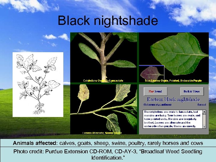 Black nightshade Animals affected: calves, goats, sheep, swine, poultry, rarely horses and cows Photo