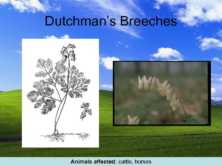 Dutchman's Breeches Animals affected: cattle, horses