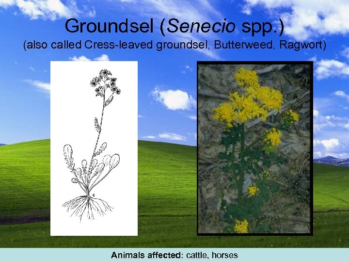 Groundsel (Senecio spp. ) (also called Cress-leaved groundsel, Butterweed, Ragwort) Animals affected: cattle, horses